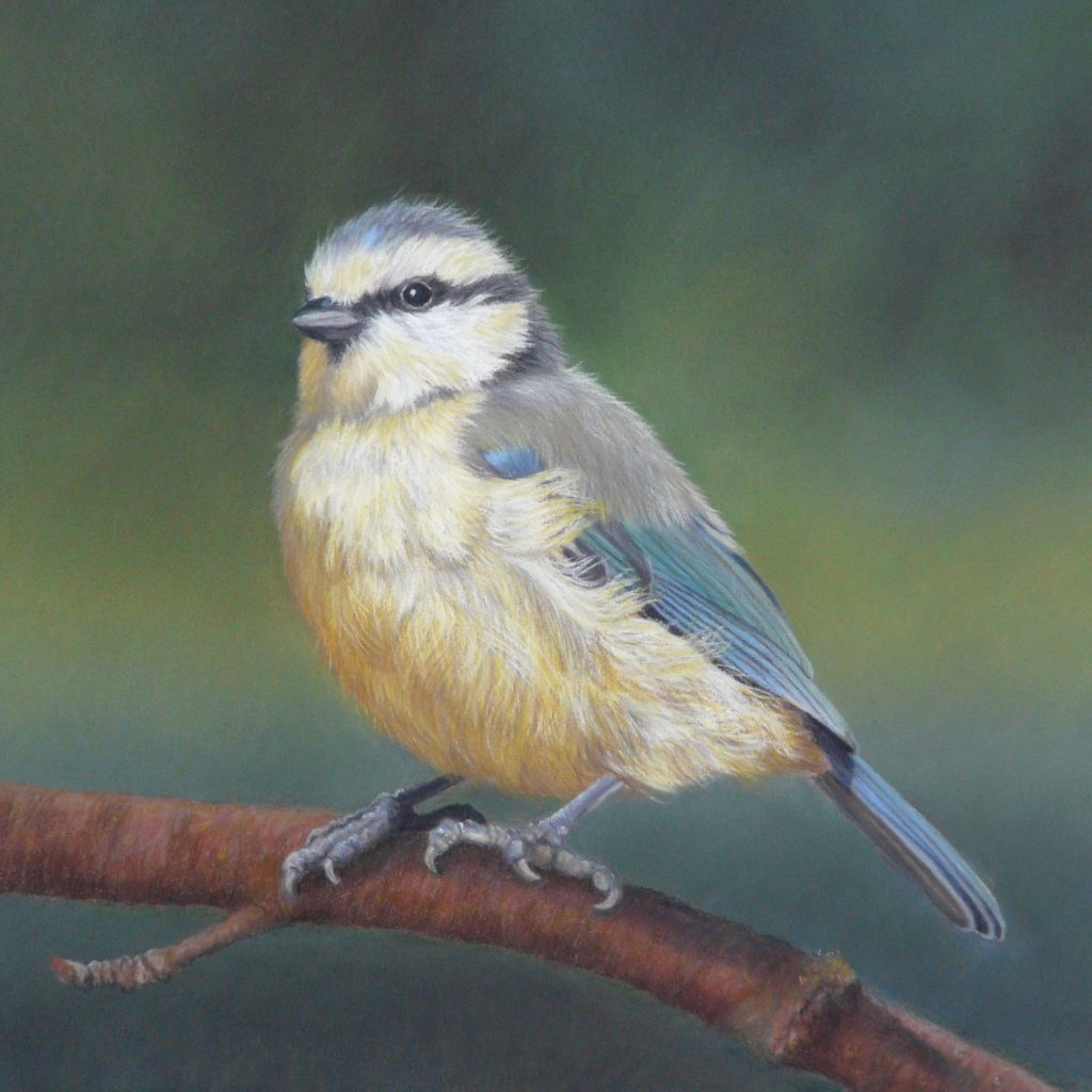 Bluetit in pastel