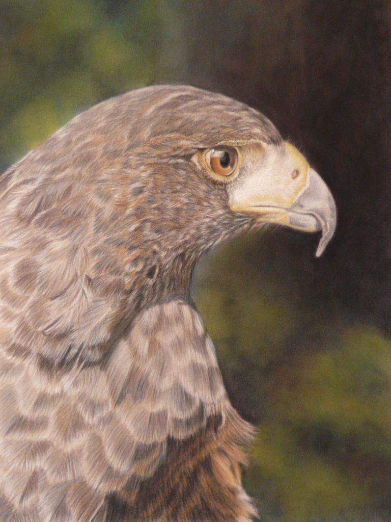 Pastel of Harris hawk